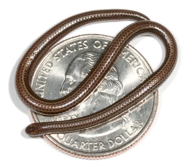 На Мартинике ученые нашли самую маленькую в мире змею