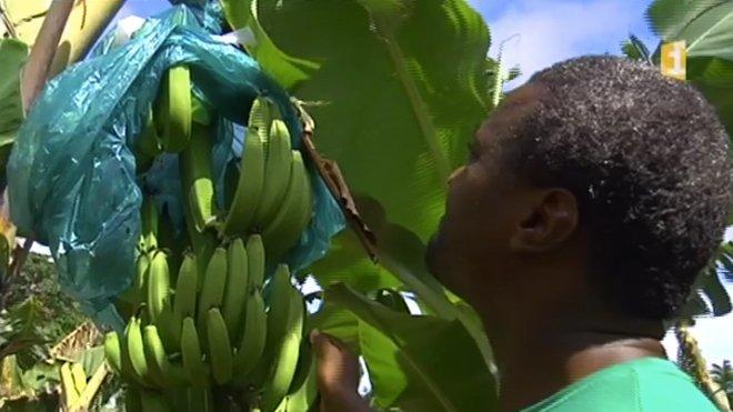Производство «биобананов» на Мартинике вряд ли будет развиваться